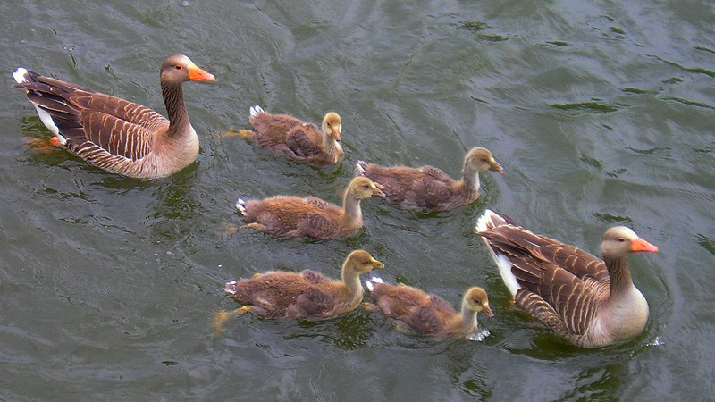 geese800x450.jpg