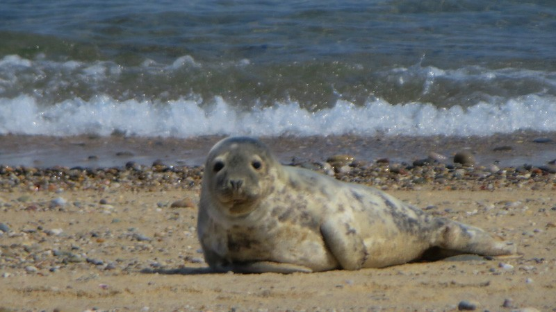 Seal in Nantucket