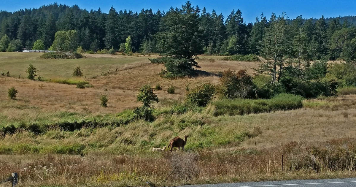 Mona the camel - and friend - hang out across the road from San Juan Vineyard