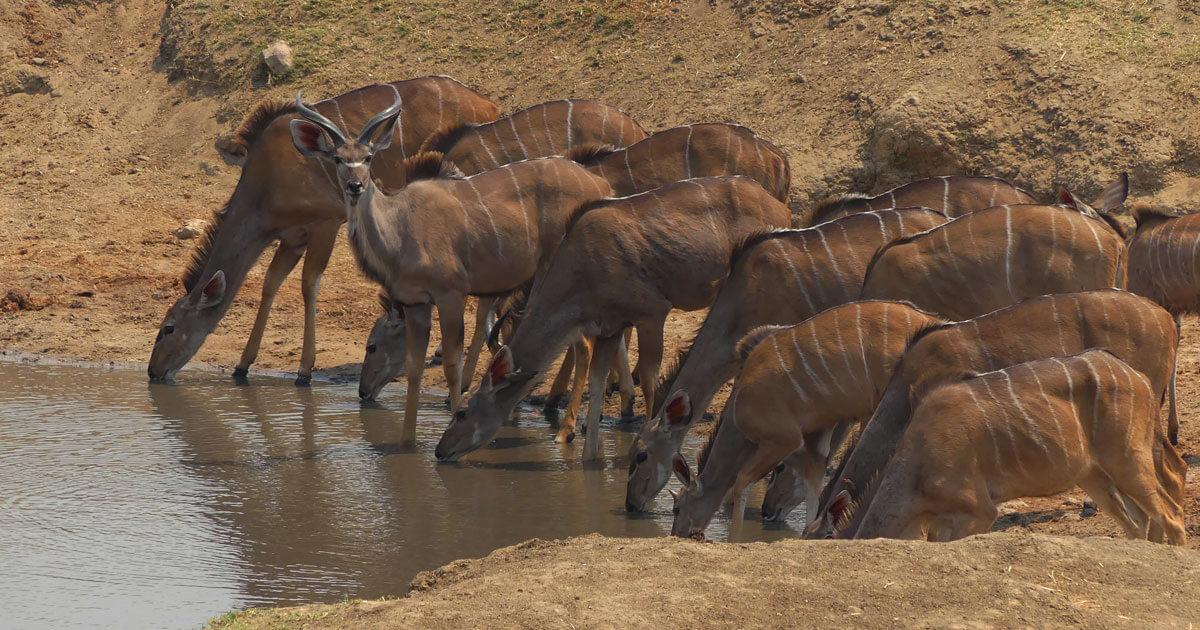 Kudu at Masumu Dam Waterhole