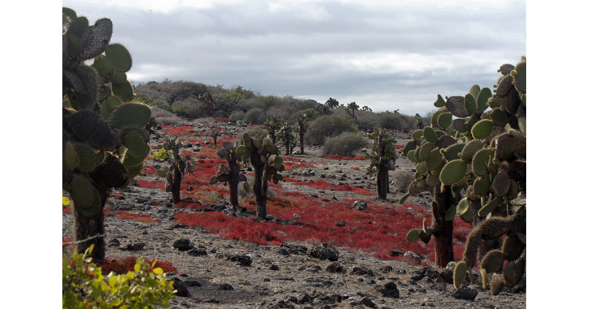 The Galapagos Islands have cacti and bright red vines on the ground in some areas.