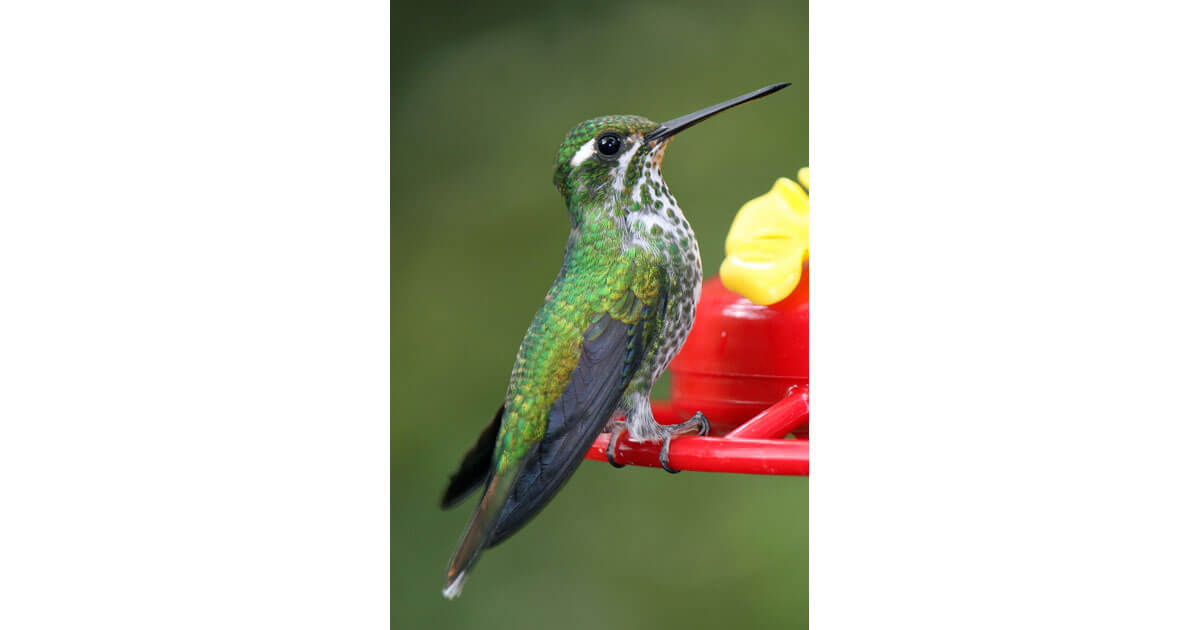 Female green-crowned brilliant hummingbird in the Ecuadoran Andes