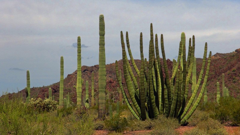 Exploring Organ Pipe Cactus NM