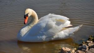 swan800x450.jpg
