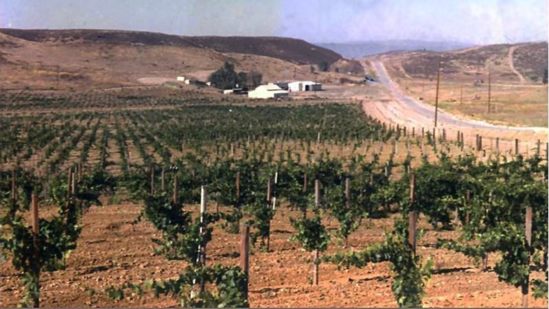 1st Vineyard circa 1972, Cilurzo Vineyards