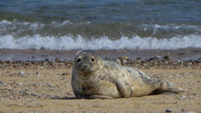 Seal in Nantucket