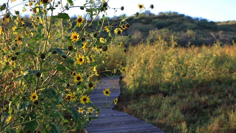 Sunflowers on Cienega Trail