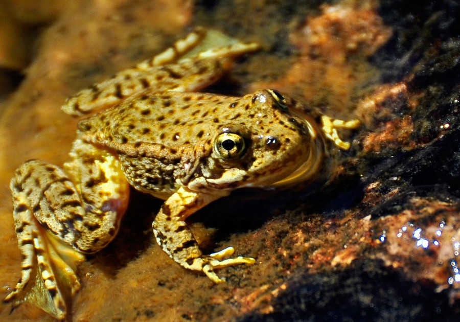 mountain-yellow-frog.jpg