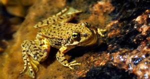 Mountain Yellow-Legged Frog