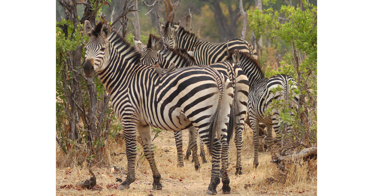 Zebras at Mana Pools