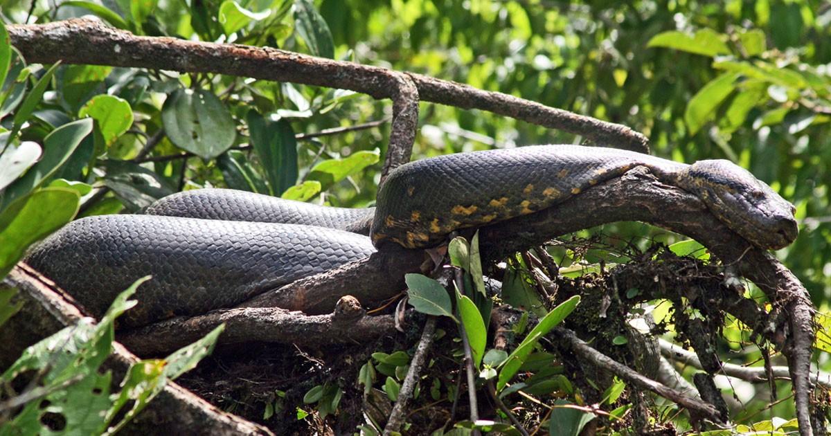 A green anaconda suns itself in the Ecuadoran Amazon.