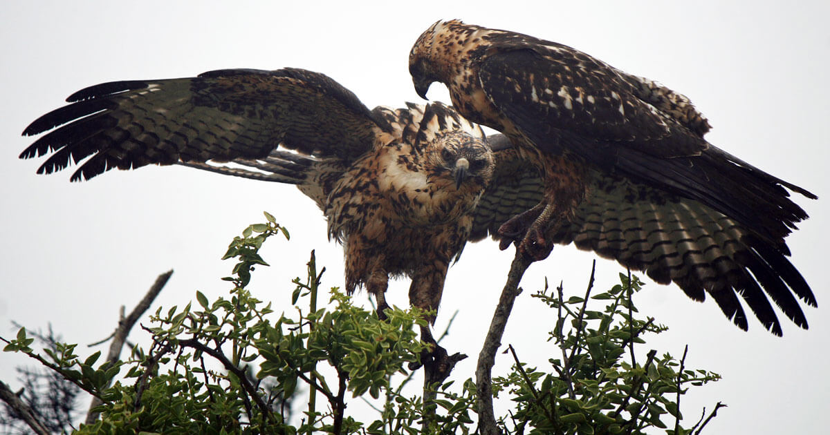 Galapagos-Hawks.jpg