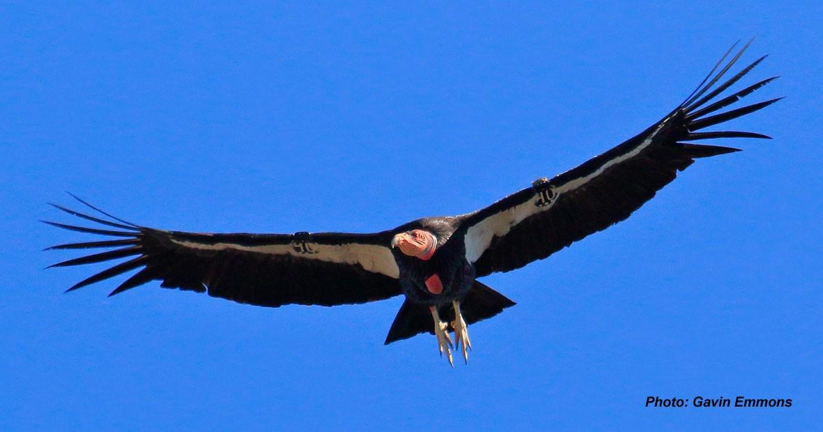 California Condor Recovery Program