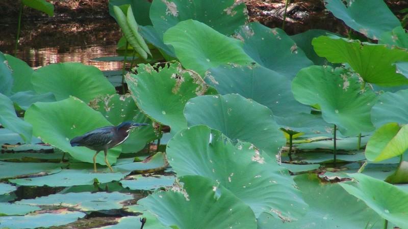 Green Heron in North Toledo Bend State Park800x450.jpg