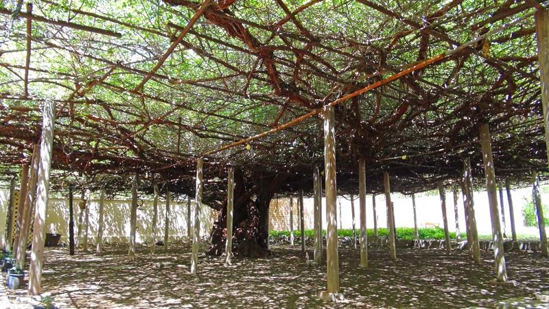 ROSE TREEE TOMBSTONE800x450.jpg