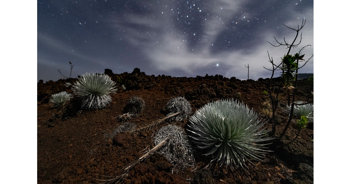 Ahinahina plants (silversword) by Stan Honda