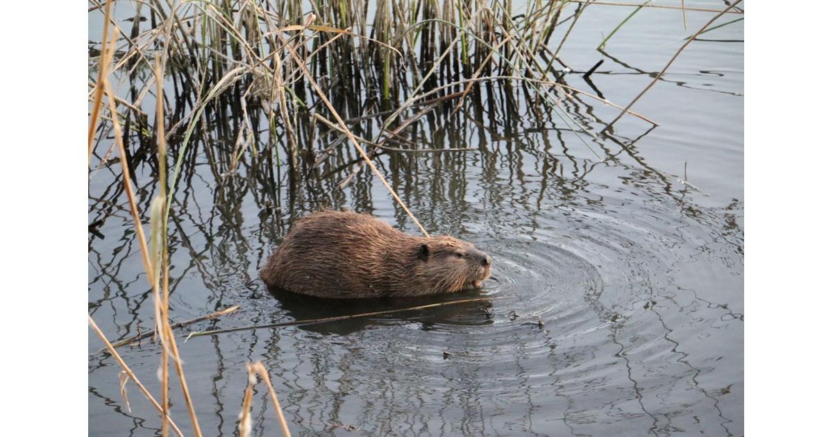 Beaver in the West Wetlands