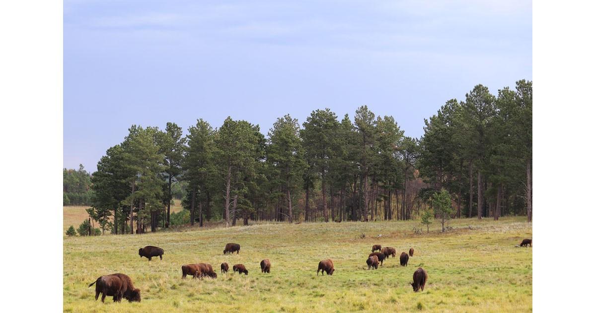 Bison herd - Custer State Park - South Dakota