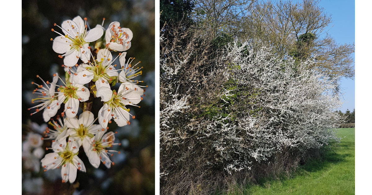 Blackthorn and a Blackthorn Hedge