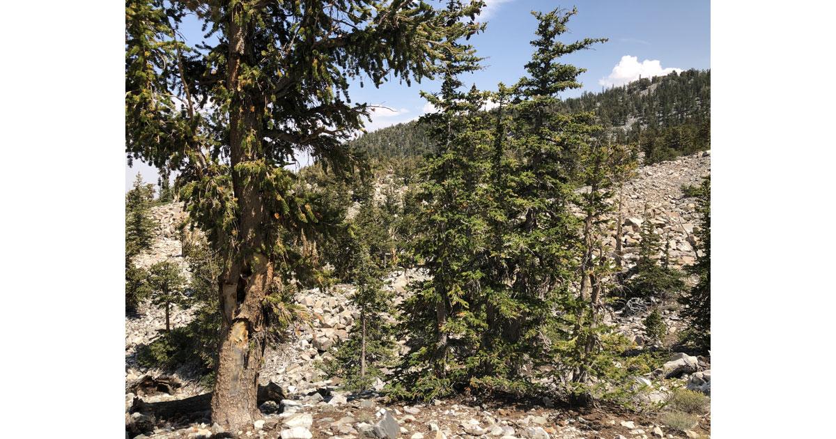 Bristlecone pine grove
