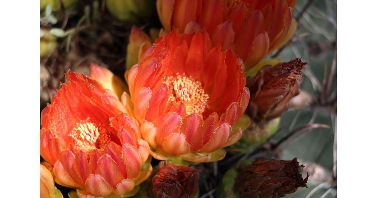 Barrel Cactus Blossoms at the Buenos Aires National Wildlife Refuge Visitor Center in Sasabe, AZ