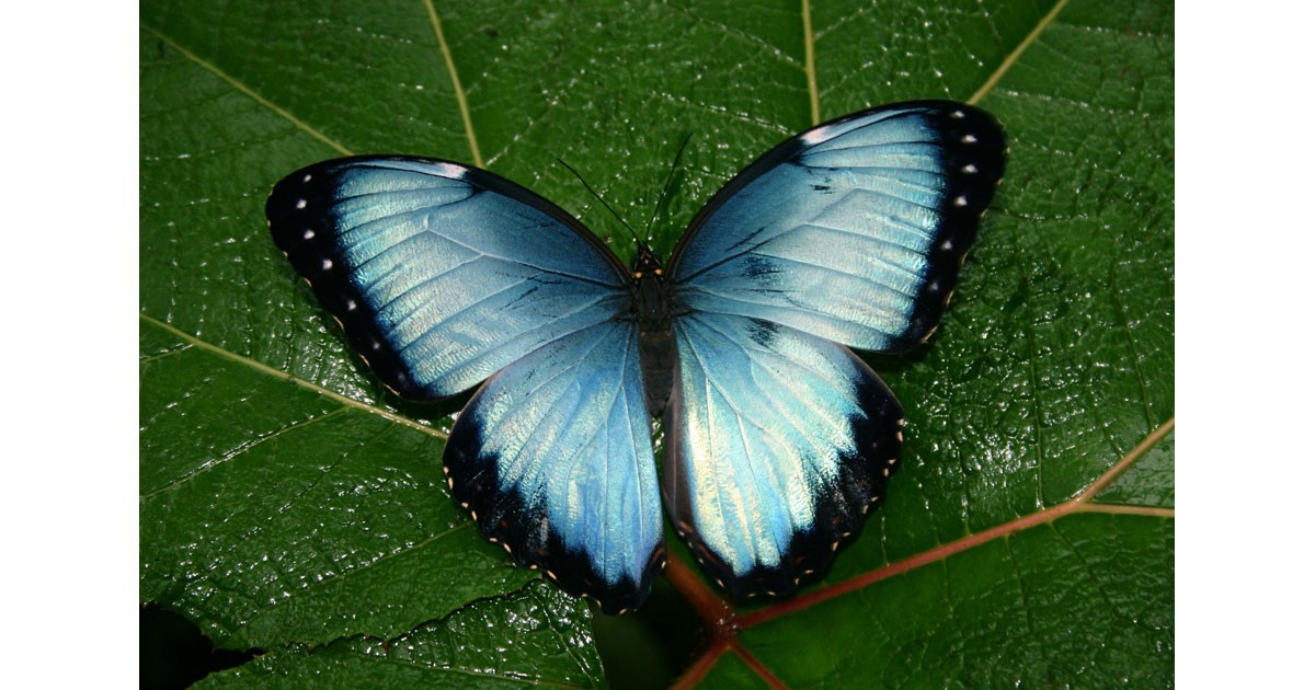 Costa Rica blue butterfly