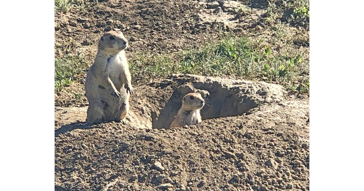 Curious prairie dogs
