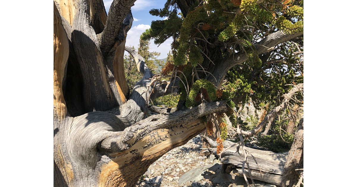 Gnarly and twisted bristlecone