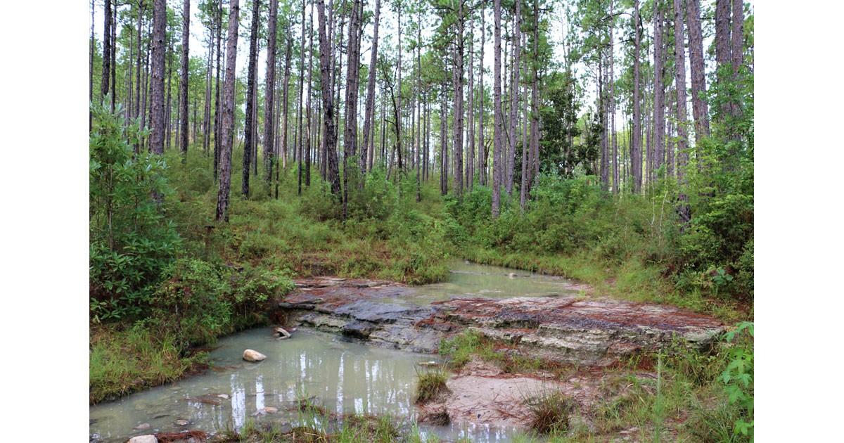 Longleaf Vista Interpretive Trail