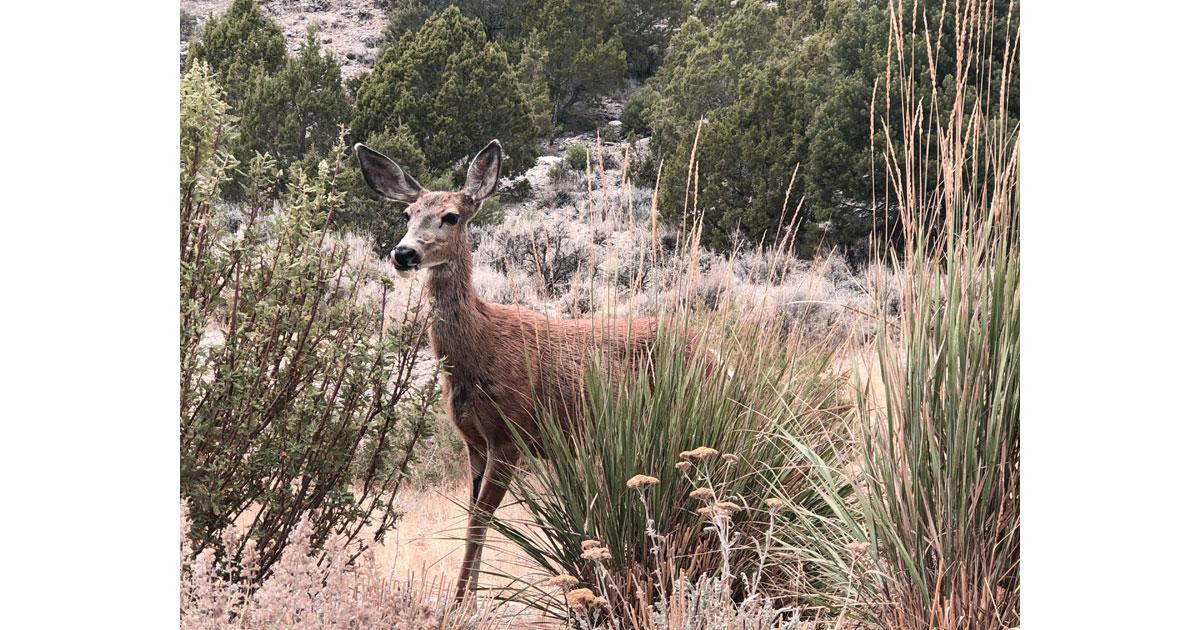 Mule deer at Hidden Canyon