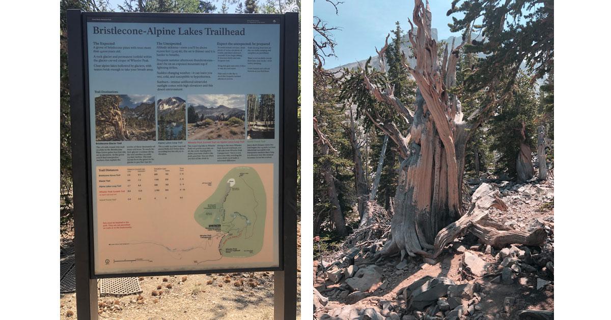 Stalwart bristlecone pine & Trailhead to Bristlecone Pine Grove and Alpine Lakes