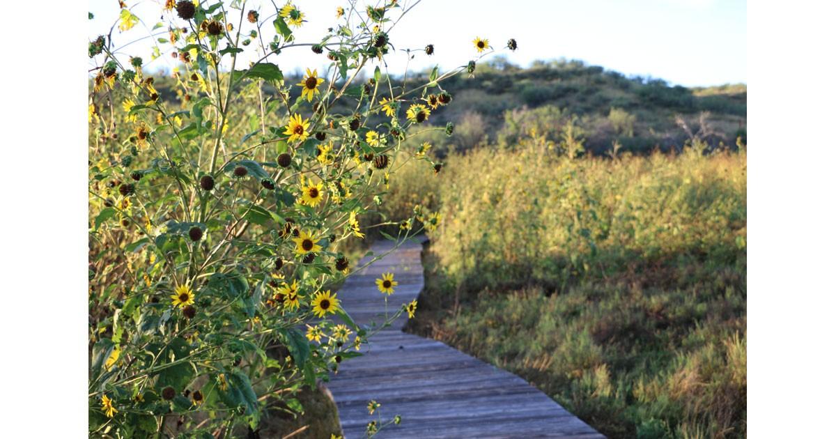 Sunflowers on the Cienega Trail