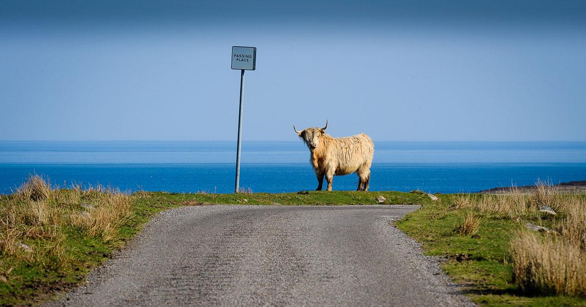 Thou Shalt Not - Highland Cow
