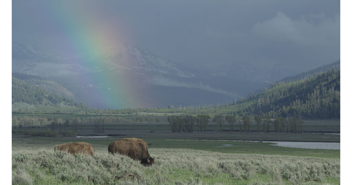 bison-in-yellowstone1200.jpg