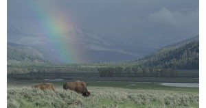Bison in Yellostone National Park
