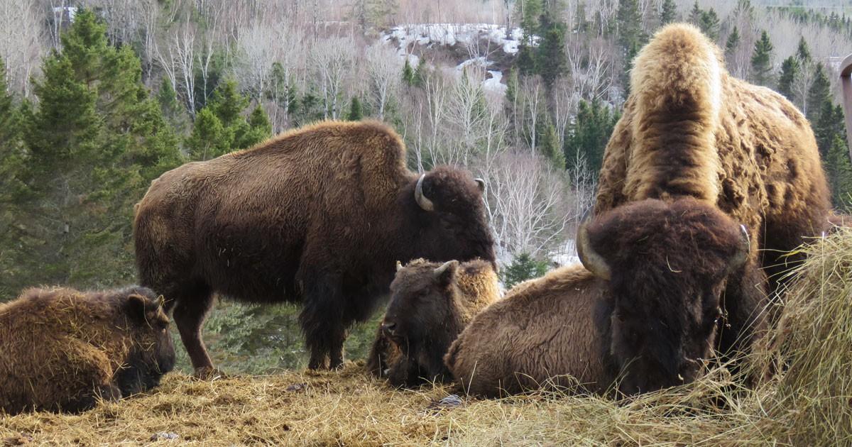 bison1200.jpg
