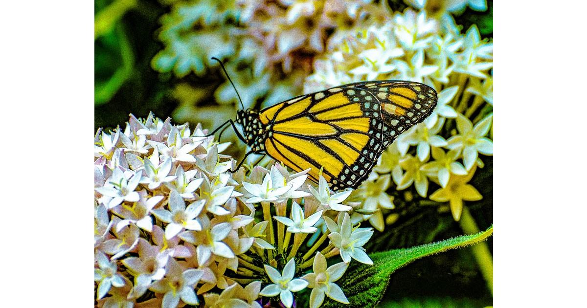 butterfly1200.jpg