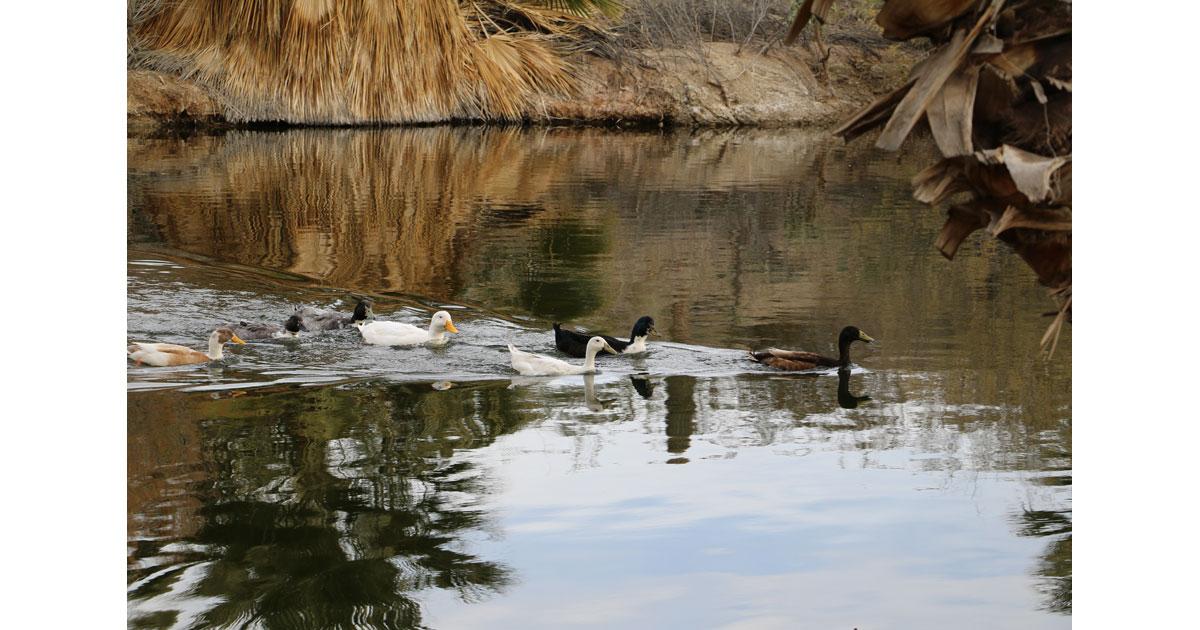 Ducks at Conservation Garden