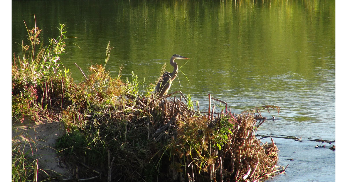 Great Blue Heron in the East Wetlands