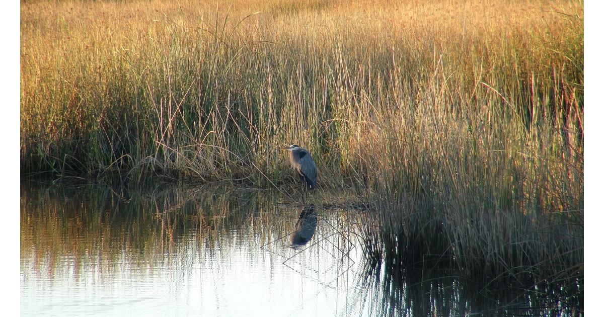 Heron in the East Wetlands
