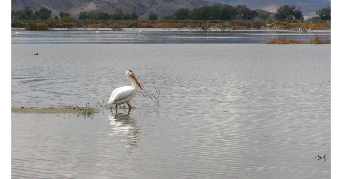 Birdwatching in Yerington, Nevada
