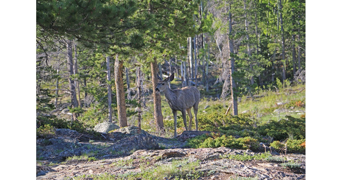 Grazing deer at West Horseshoe Park Overlook