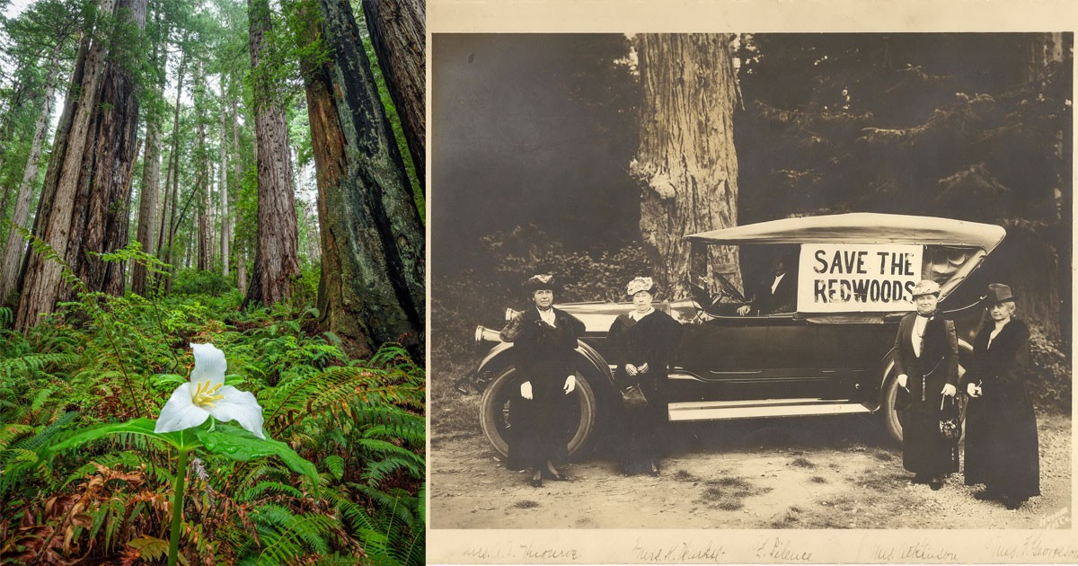 Save the Redwoods Ladies Committee, Redwood tree photo by Max Forster