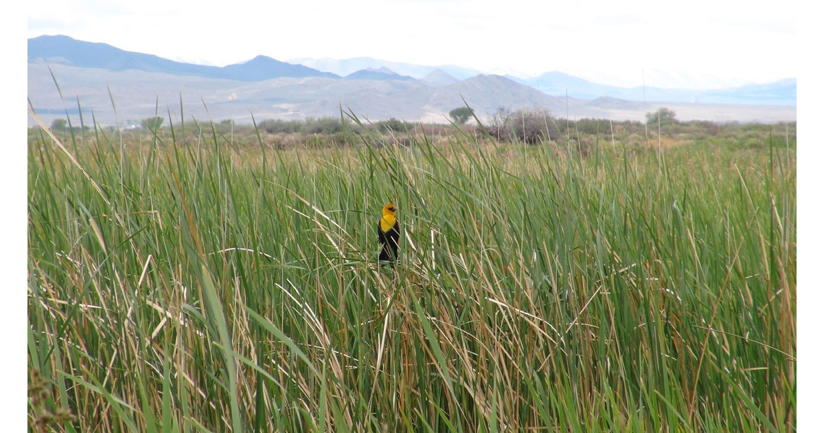 Yellowheaded Blackbird, Yerington, NV